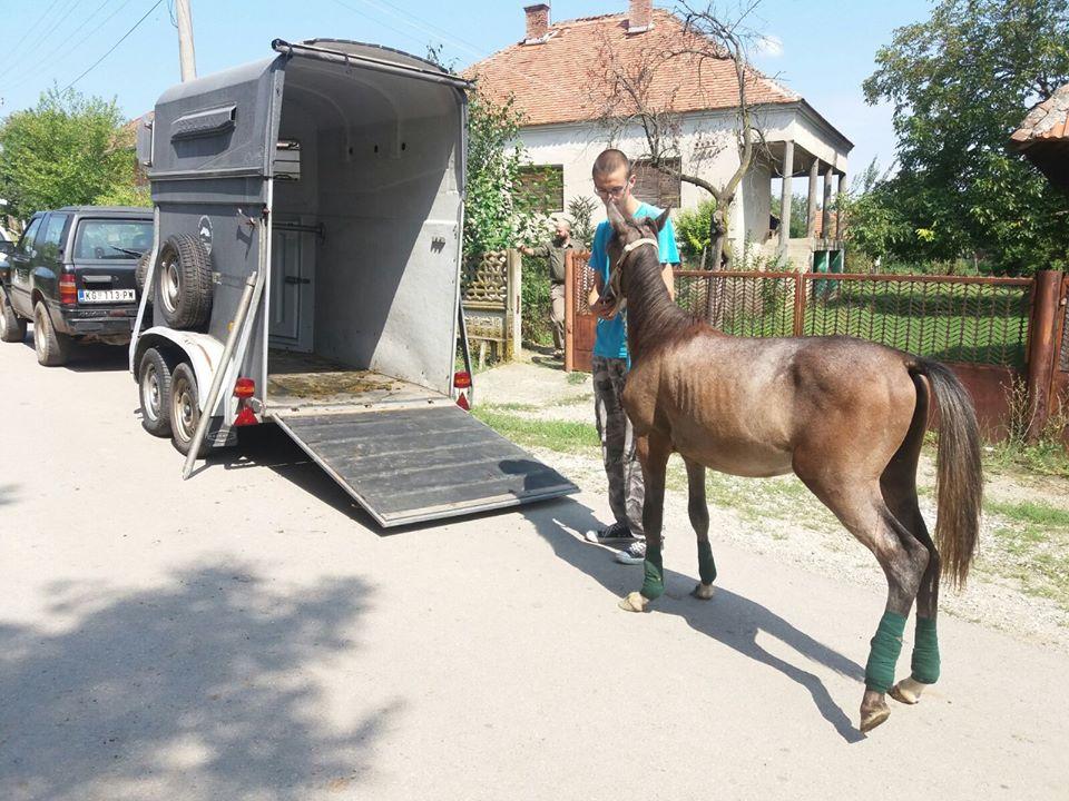 konj oporavak