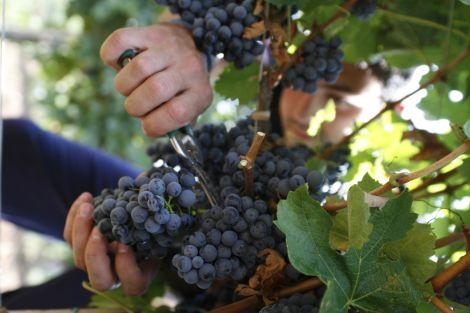 berba-grozdja