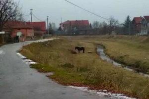 konji-belica-1